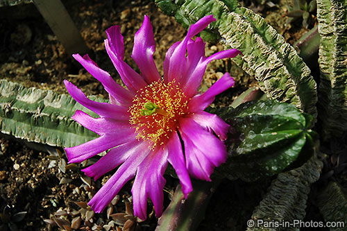 flowering cacti, greenhouse paris